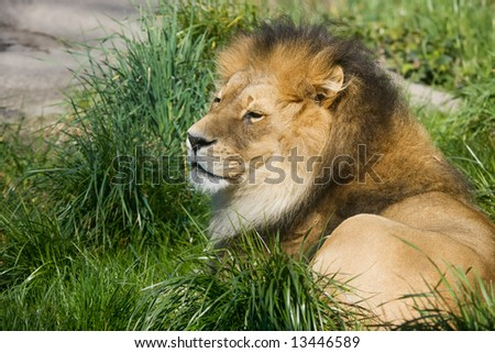 Male African lion resting in green grass - stock photo