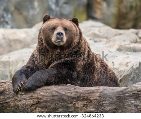 Male Alaskan Brown Bear resting on log - stock photo