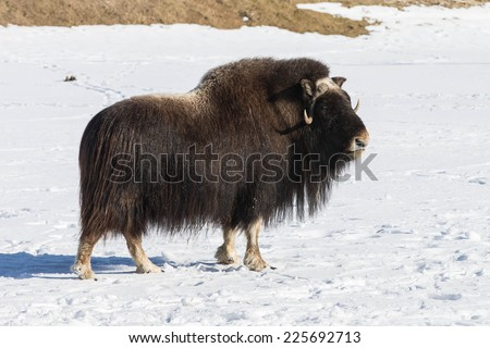 Male Alaskan Muskox - stock photo