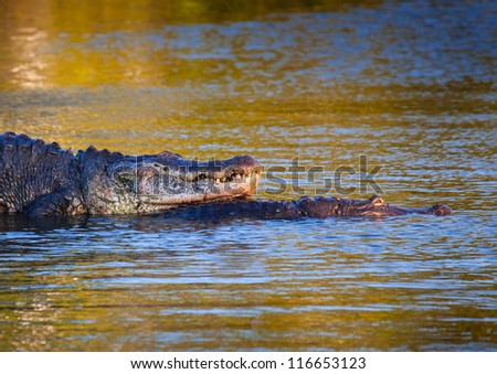 Male alligator protects his mate at sunset in everglades - stock photo