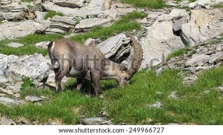 Male alpine ibex grazing on a mountain meadow - stock photo