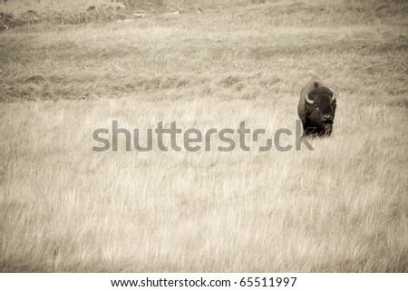 Male American Bison crosses the plains in Yellowstone - stock photo