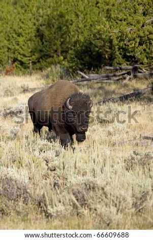 Male American Bison travels through the forest in Yellowstone - stock photo