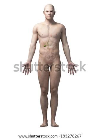 male anatomy illustration - the gallbladder - stock photo