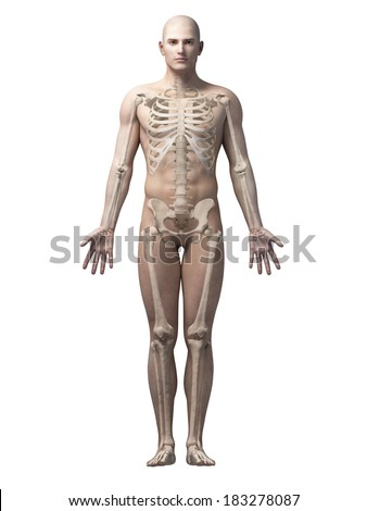 male anatomy illustration - the skeleton - stock photo
