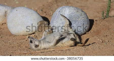 male and baby Meerkats mammals at  Solitaire Guest farm and desert ranch namibia - stock photo