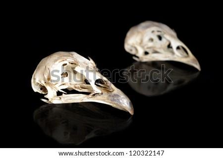 Male and female bird skulls isolated on black - stock photo