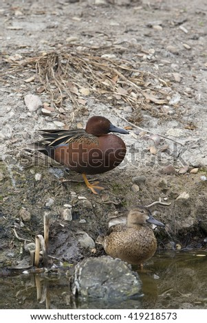 Male and female Cinnamon Teal  - stock photo