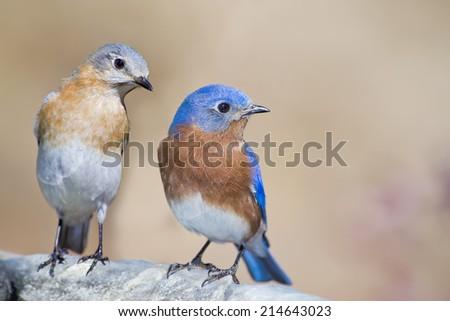 Male and Female Eastern Bluebirds on Birdbath - stock photo
