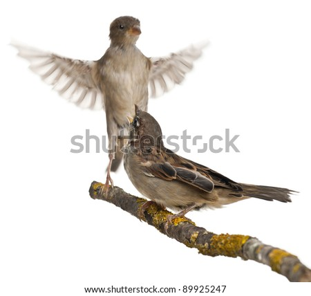 House Sparrow Male Male And Female House Sparrow