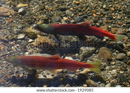 Male and Female Kokanee Salmon swimming in a stream near Lake Tahoe - stock photo