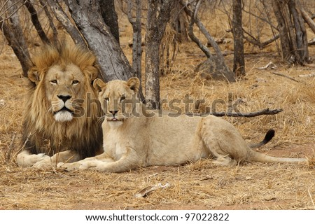 Male and Female Lion - stock photo