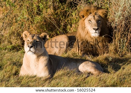 Male and Female Lion at rest (Leo Pantera) - stock photo