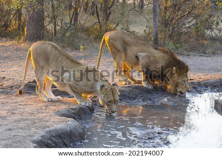 Male and female lion drinking water at sunset - stock photo