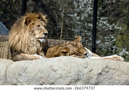 Male and female lion in the zoo - stock photo
