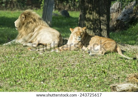 Male and female lion while relaxing close up portrait - stock photo