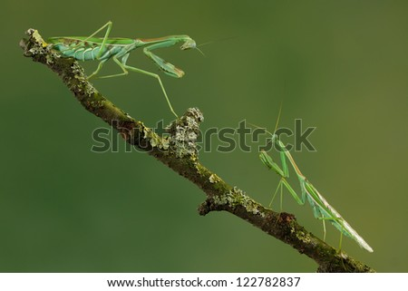 Male and female mantis having a discussion - stock photo