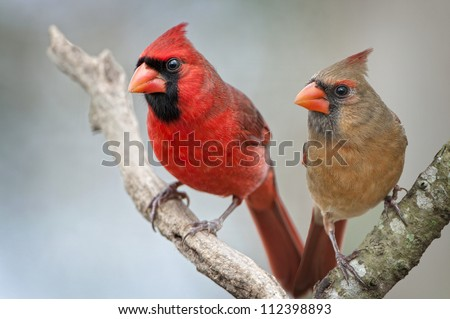 Male and Female Northern Cardinals - stock photo