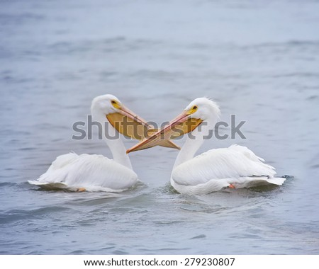 Male and female pelicans in the soft sunlight drifting in the water   - stock photo