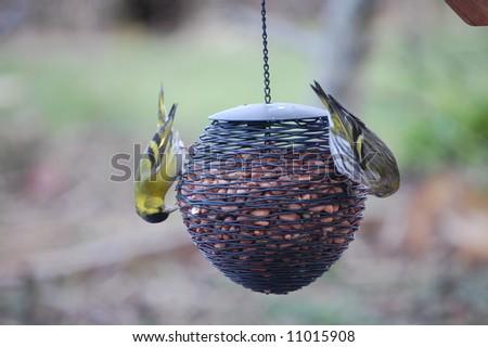 male and female Siskin on peanut feeder - stock photo