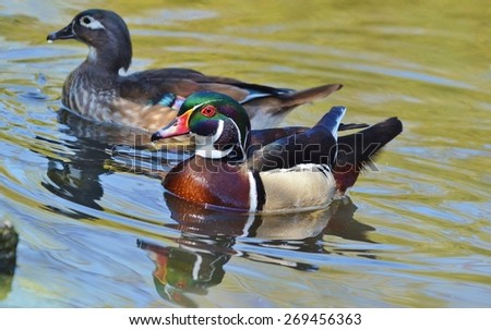 Male and Female Wood DuckSwimming - stock photo