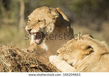 Male and snarling female lion South Africa - stock photo
