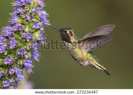 Male Anna's Hummingbird - stock photo