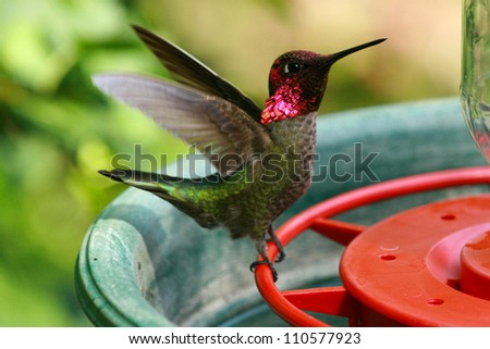 male Anna's hummingbird (Calypte anna) at feeder - stock photo