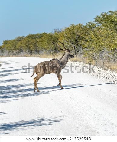 Male antelope Kudu (Tragelaphus strepsiceros) on road in Etosha National Park - Namibia, South-West Africa - stock photo