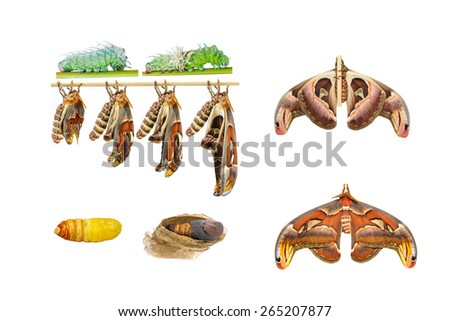 Male attacus atlas moth life cycle on white - stock photo