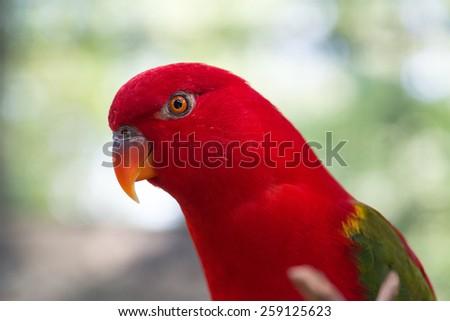 Male Australian King Parrot, Alisterus Scapularis - stock photo