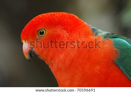 Male Australian King-parrot in Lamington National Park, Queensland, Australia - stock photo