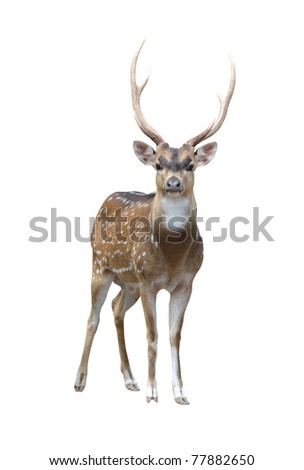 male axis deer isolated on white background - stock photo