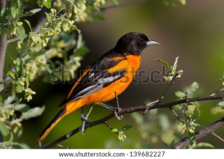 Male Baltimore Oriole Perched On Branch With Foliage and White Flowers - stock photo