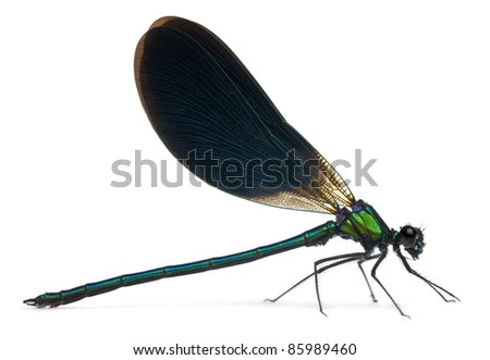 Male Banded Demoiselle, Calopteryx splendens, in front of white background - stock photo