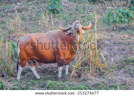 Male Banteng(Bos javanicus ) eating grass who was in Red List of Threatened Species in Endangered species in nature at Wildlife Sanctuary,Thailand  - stock photo