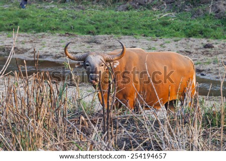 Male Banteng(Bos javanicus ) who was in Red List of Threatened Species in Endangered species in nature at Wildlife Sanctuary,Thailand  - stock photo