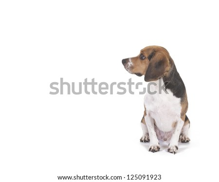 Male Beagle on a white background - stock photo