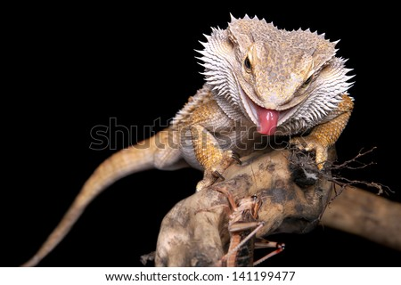 male bearded dragon sitting on a wooden branch catching a grasshopper - stock photo