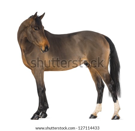 Male Belgian Warmblood, BWP, 3 years old, against white background - stock photo