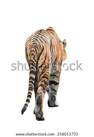 male bengal tiger isolated  on white background - stock photo
