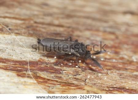 Male Biting midget, Ceratopogonidae on wood - stock photo