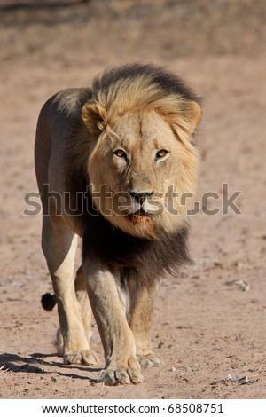 Male Black Maned Lion - stock photo