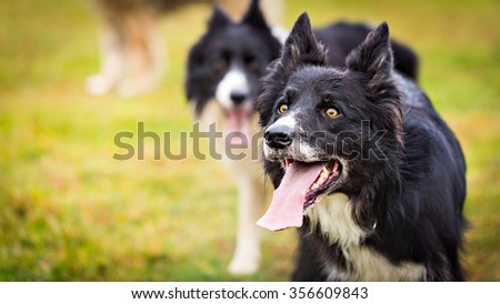 Male Border Collie dog looking up to his owner. Image with a copy space - stock photo