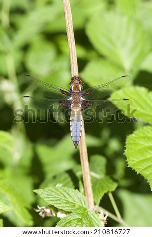 Male broad-bodied chaser - stock photo