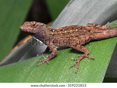 Male Brown Anole Resting on a Bromeliad Leaf - stock photo