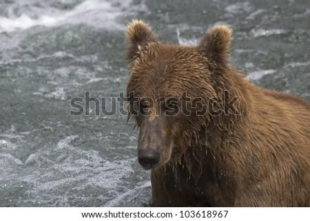 Male Brown Bear fishing for salmon in Katmai National Park in Alaska - stock photo