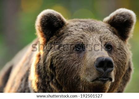 Male brown bear portrait - stock photo