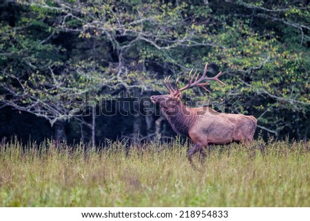 Male bull elk sniffs the air for scent during rut in Autumn - stock photo