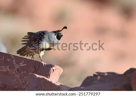 Male california quail perching on red stone - stock photo
